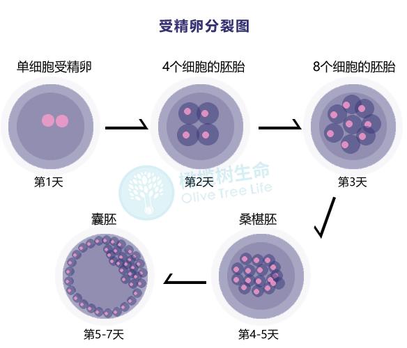 受精卵分裂.png