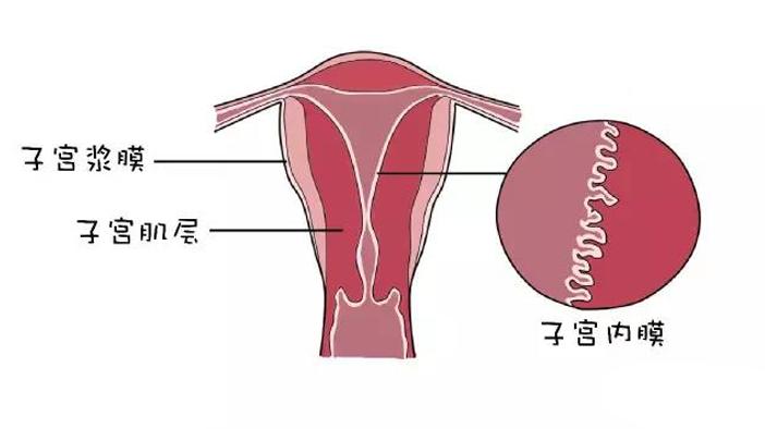 橄榄树生命泰国试管婴儿——子宫内膜.jpg