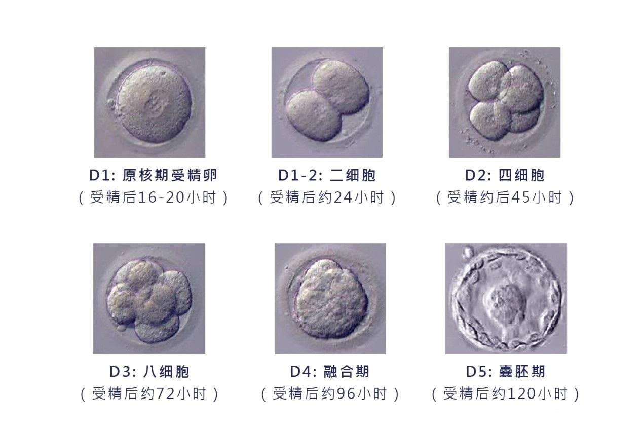 橄榄树生命——胚胎培养技术